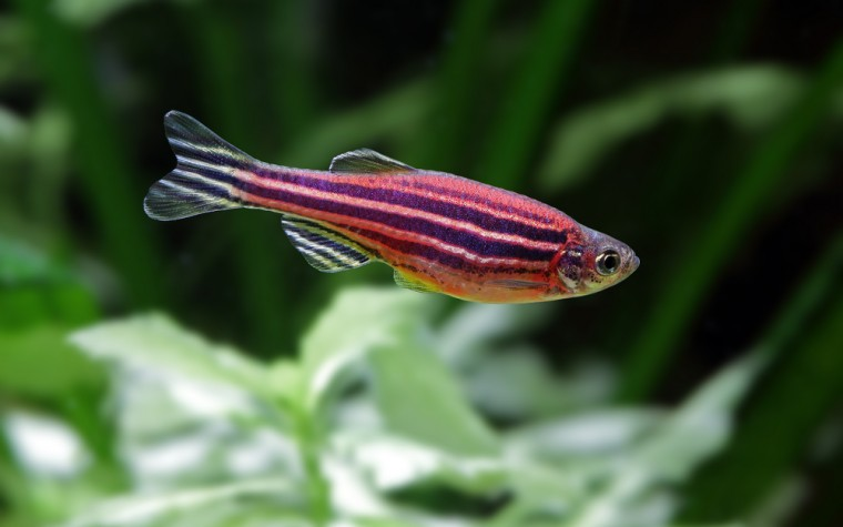 zebrafish, applied research models