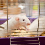 ALS mouse model, muscle strength