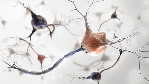 Nerve Cells That Control Movement Change Size as ALS Progresses, Mouse Study Shows