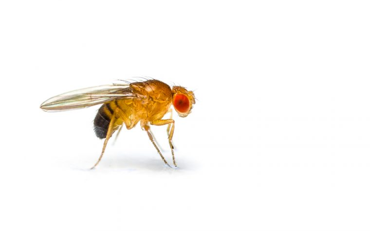 fruit fly study for ALS