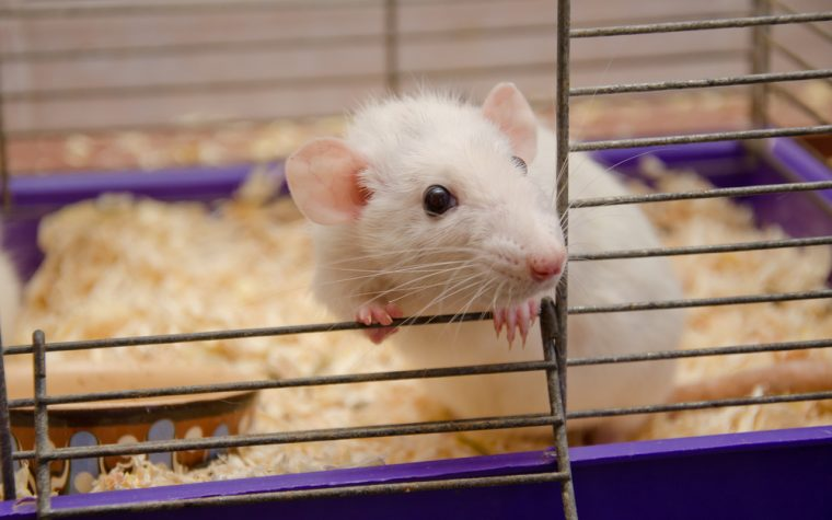 RAGE protein in mice