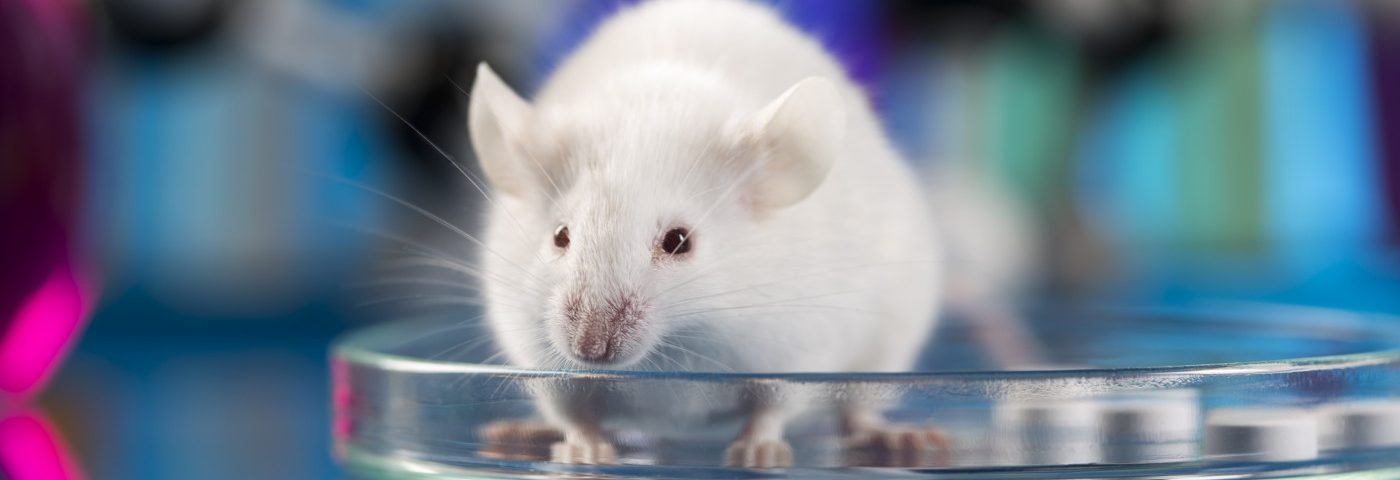 ALS Mouse Study Finds Favor in Muse Stem Cells