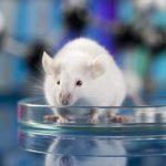 Specific Stem Cells Promote Motor Neuron Survival, Increase Muscle Strength in ALS Mouse Model, Study Reports